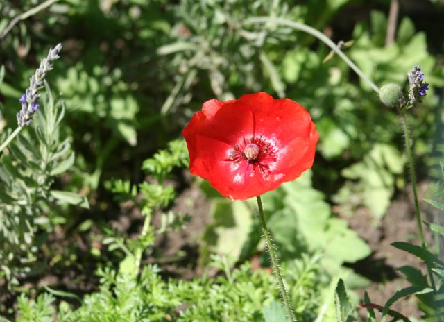 An Early Volunteer, the first Flanders Poppy arrives in February