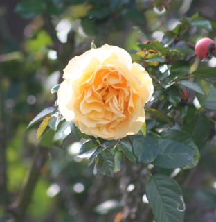 Julia Childs rose blooms next to fall's hips