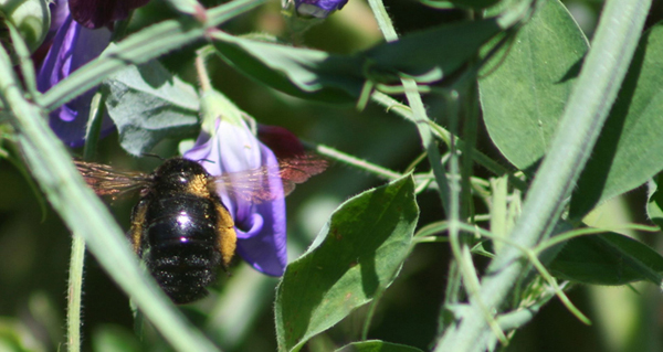 A bumblebee with gossamer wings extracting nectar from a Cupani Sweet Pea in Cathy Hatfields Fountain Valley Garden