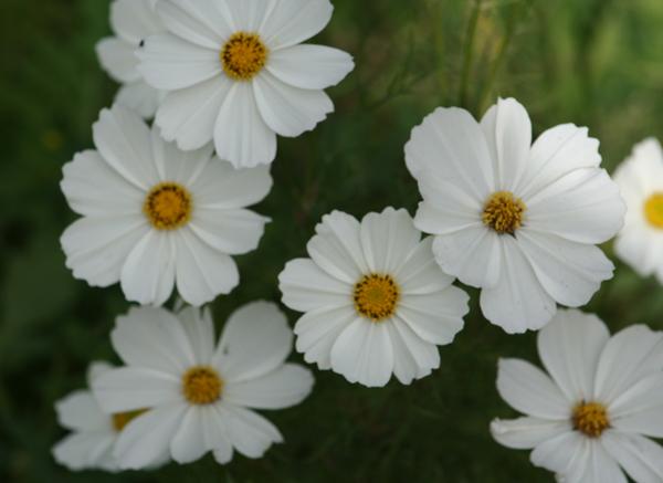 Flowers of Winter Intermission in Fountain Valley garden of  artist Cathy Hatfield