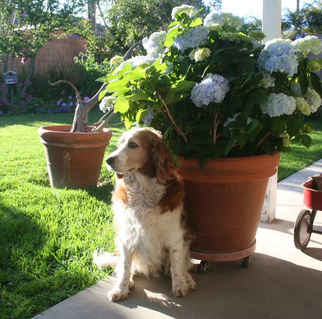 Winslow and the hydrangeas in Fountain Valley