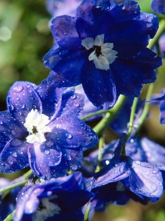 delphinium-flowers