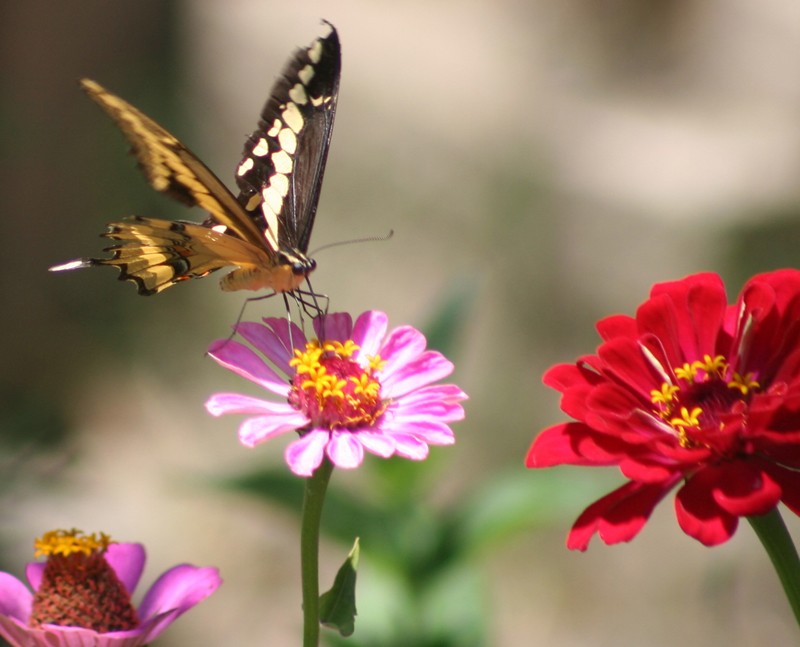 A butterfly visiting the zinnias in our Fountain Valley California garden